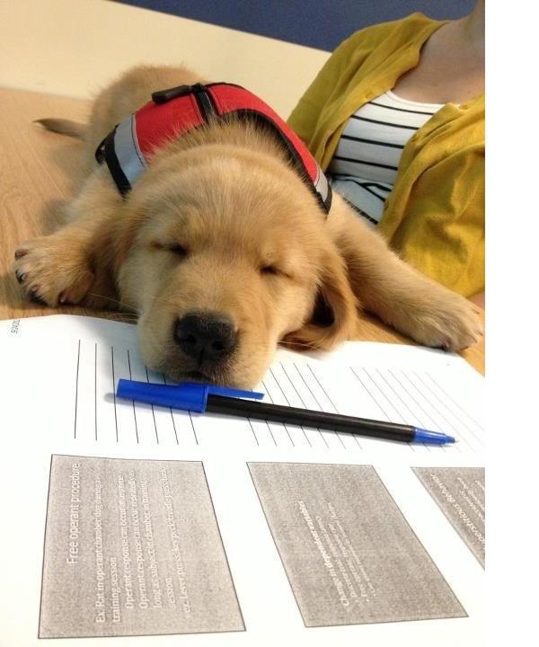 Ein kleiner heller Labrador Welpe liegt auf Formularen und schläft. Vor ihm liegt auf den Formularen ein Kugelschreiber und im Hintergrund sieht man eine Frau sitzen